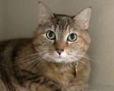 Adopt DAKOTA a Domestic Mediumhair / Mixed (medium coat) cat in Denver