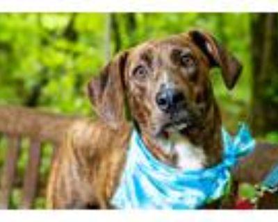 Adopt Brody a Brindle Plott Hound / Mixed dog in Big Canoe, GA (31260968)