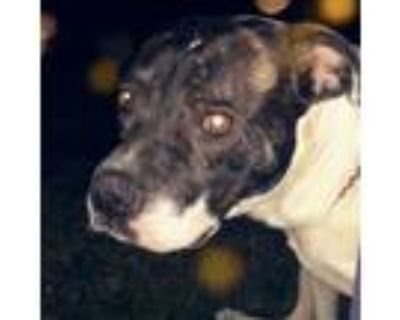 Adopt RYDER a Brindle - with White American Pit Bull Terrier / Mixed dog in
