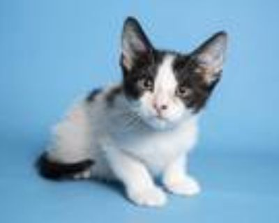 Adopt SUNDAE a White (Mostly) Domestic Shorthair / Mixed (short coat) cat in