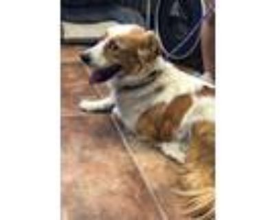 Adopt Charlie a White - with Tan, Yellow or Fawn Border Collie / Australian