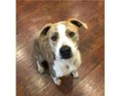 Adopt Booker a Brown/Chocolate - with White Labrador Retriever / Pit Bull
