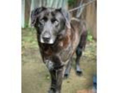 Adopt ADORA a Labrador Retriever, Shepherd