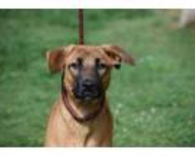 Adopt Neville a Brown/Chocolate Retriever (Unknown Type) / Hound (Unknown Type)