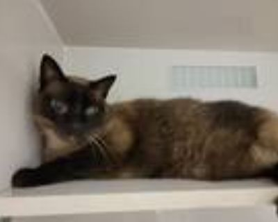 Adopt Ollie a Brown or Chocolate (Mostly) Siamese / Mixed cat in Bossier City