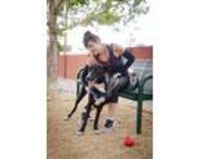 Adopt Captain a Shepherd, Australian Cattle Dog / Blue Heeler