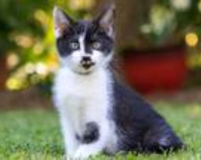 Adopt KITTEN BRITTANY a Black & White or Tuxedo Calico / Mixed cat in