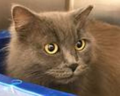 Butterfly, Domestic Longhair For Adoption In Chesapeake, Virginia