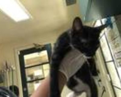 Adopt a Black & White or Tuxedo Domestic Shorthair / Mixed (short coat) cat in