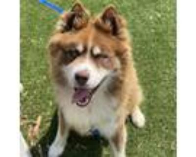 Adopt Red a Siberian Husky / Mixed dog in Mipiltas, CA (32106339)