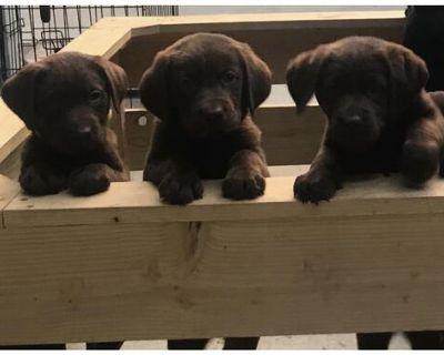 Labrador Retriever: Chocolate Labrador Puppies for sale