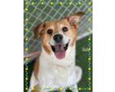 Adopt BELLE a White - with Red, Golden, Orange or Chestnut Collie / Mixed dog in