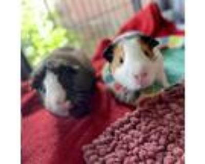 Adopt Winchester (and Henry) a Guinea Pig