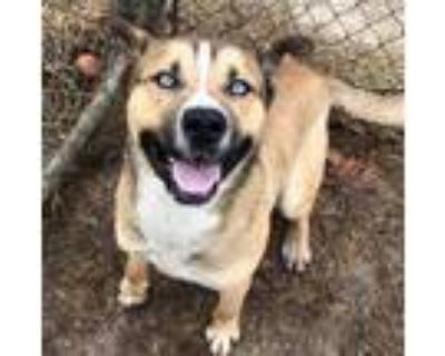 Adopt LUKE a Tan/Yellow/Fawn - with White Husky / Mixed dog in Indianapolis