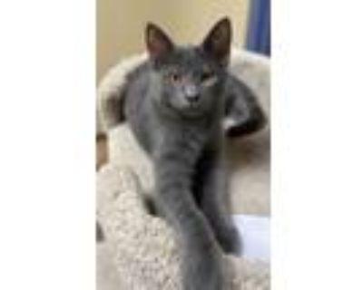 Adopt Macaroon a Gray or Blue Domestic Shorthair / Domestic Shorthair / Mixed