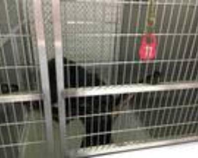 Adopt WILLOW a Black Labrador Retriever / Mixed dog in Norfolk, VA (32111855)