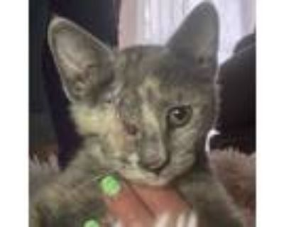 Adopt Olive Oil a Domestic Short Hair
