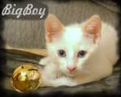 Adopt Big Boy a White (Mostly) Siamese / Mixed (short coat) cat in Anaheim