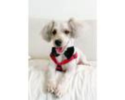 Adopt Curly Fry a Miniature Poodle