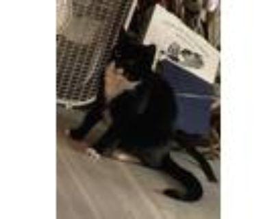 Adopt Domino a Black & White or Tuxedo Domestic Mediumhair (medium coat) cat in