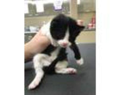 Adopt 47924902 a All Black Domestic Shorthair / Domestic Shorthair / Mixed