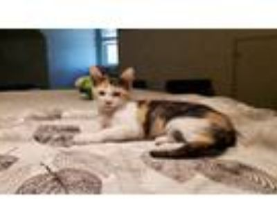 Adopt Calico 2 a Calico or Dilute Calico American Shorthair / Mixed (short coat)