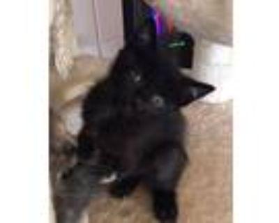Blackjack, Domestic Mediumhair For Adoption In Concord, California