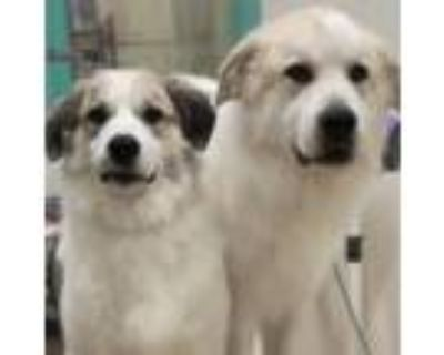Adopt Quin and Togepi a Great Pyrenees