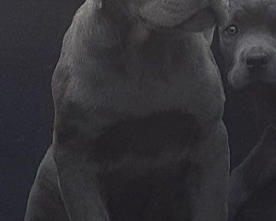 Cane Corso Italian Mastiff