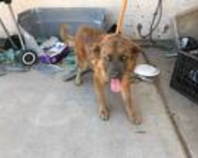 Adopt JIMMY a Brown/Chocolate - with Black Chow Chow / German Shepherd Dog /
