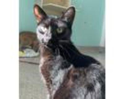 Adopt Dumbledore a All Black Domestic Shorthair / Domestic Shorthair / Mixed cat