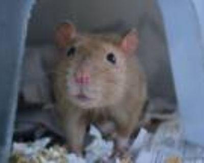 Adopt RAINY a Rat