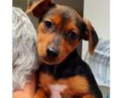 Adopt Inca a Beagle, Miniature Pinscher