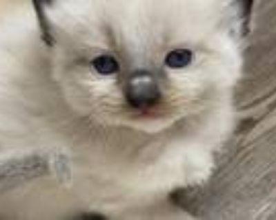 Sugar Pie's Kittens