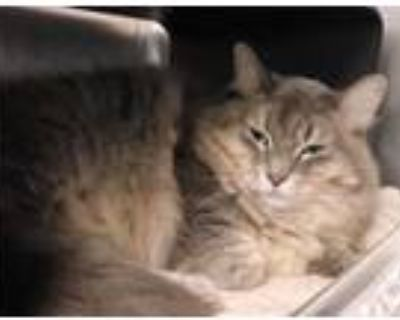 Adopt Allison a Gray or Blue Domestic Mediumhair / Domestic Shorthair / Mixed