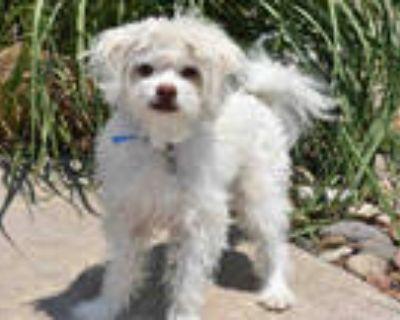 Adopt POLAR a White Poodle (Miniature) / Mixed dog in Aurora, CO (31970394)