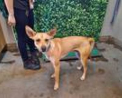 Adopt *CERVO a Tan/Yellow/Fawn Basenji / Mixed dog in Camarillo, CA (31494464)