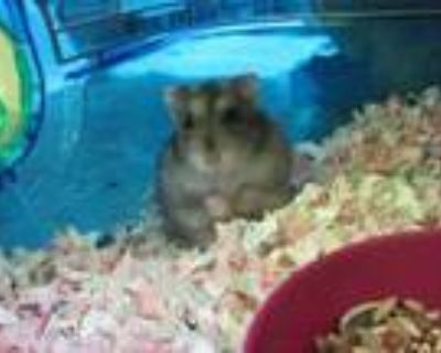 Adopt BILLY a Hamster