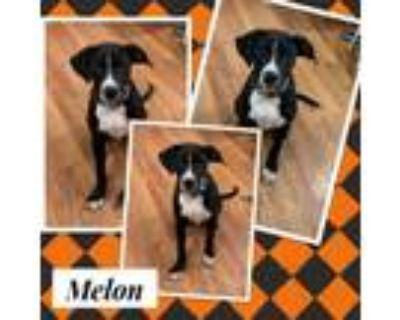 Adopt Melon a Black Labrador Retriever, Boxer