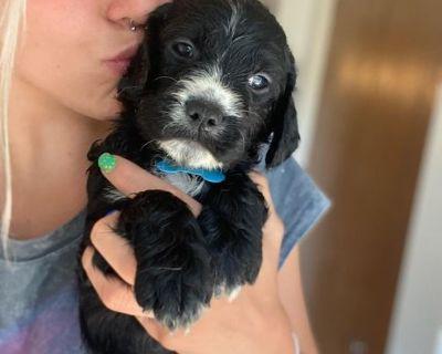 Adorable springerdoodle puppies