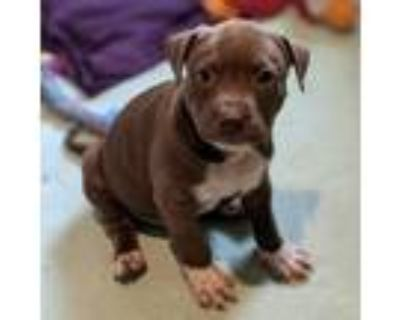 Adopt Star Lord a Brown/Chocolate Catahoula Leopard Dog / Mixed dog in St Paul