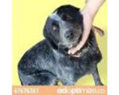 Adopt 47676361 a Black Blue Heeler / Mixed dog in El Paso, TX (31176562)