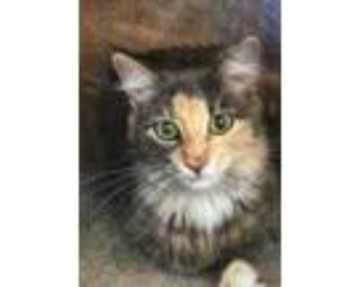 Adopt Muneca a Gray or Blue Domestic Longhair / Domestic Shorthair / Mixed cat