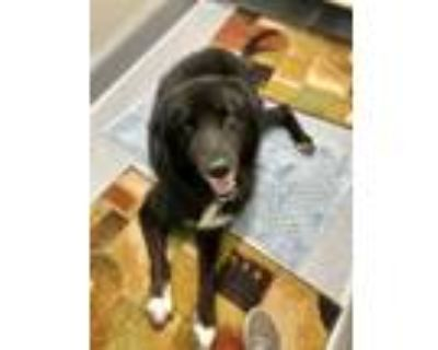 Adopt Moose a Black - with White Great Pyrenees / Mixed dog in Minneola