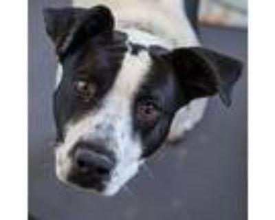 Scrappy*, American Pit Bull Terrier For Adoption In Colorado Springs, Colorado