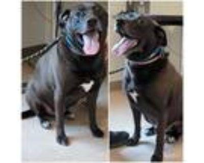 Adopt CHIEF a Black Labrador Retriever / Mixed dog in Derwood, MD (31642206)