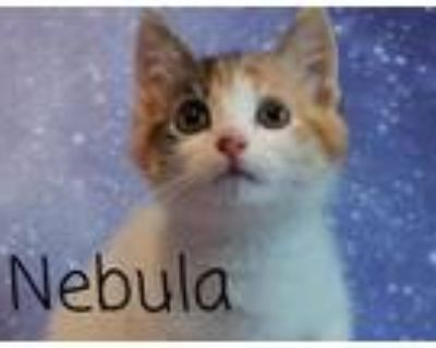 Adopt Nebula a American Shorthair