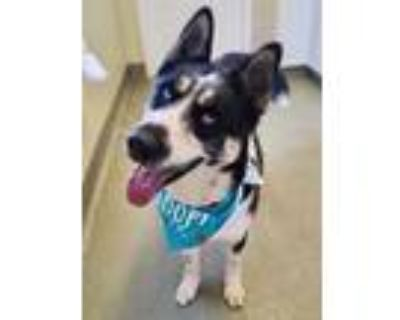 Adopt ULYSSES a Black - with White Akita / Husky / Mixed dog in Agoura