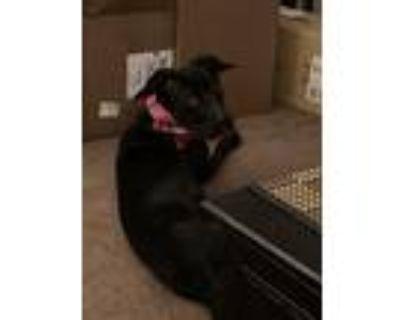 Adopt Marie a Black Cane Corso / Labrador Retriever dog in Philadelphia