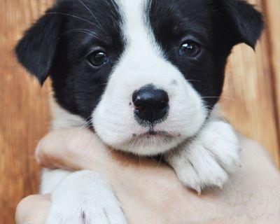 Mini Aussie / Border Collie Puppies
